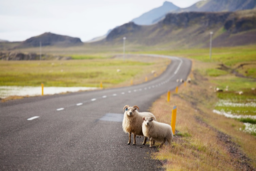 sheep on the side of a road in iceland